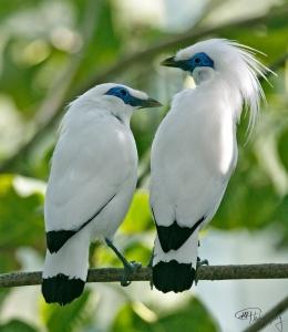 bali-starling-2